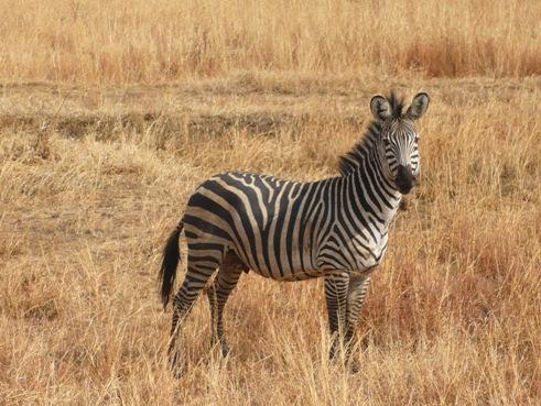 Zebra Tanzania Mikumi Park